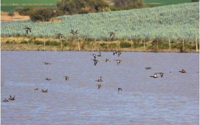 Humedales de Pénjamo: Tierra de agricultura y aves acuáticas