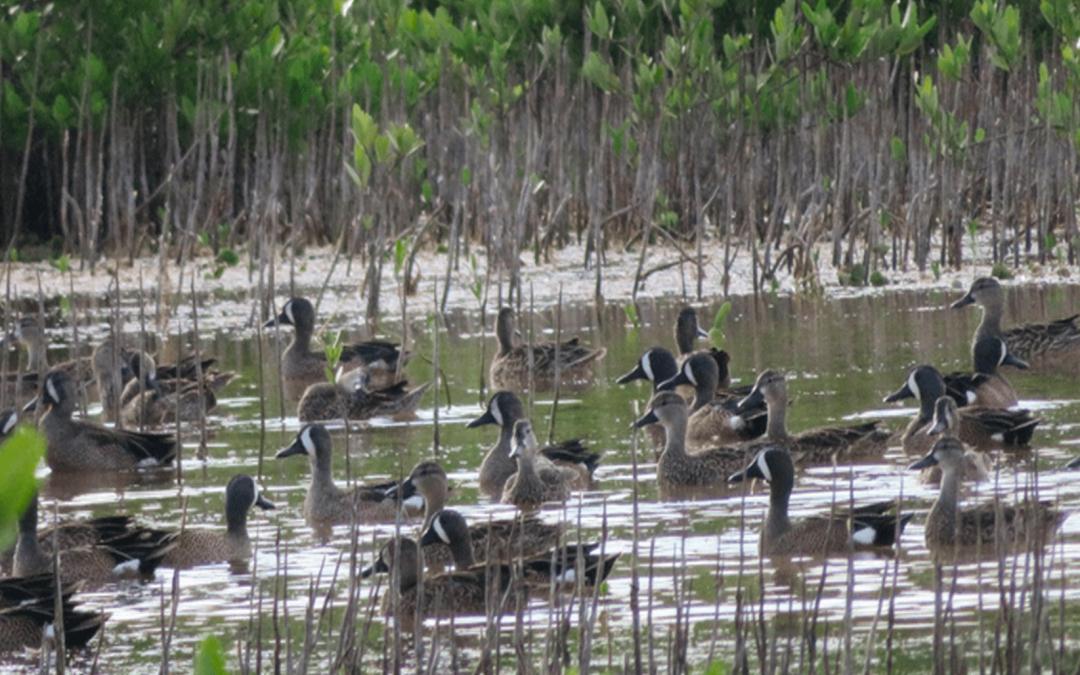Iniciativa para la Restauración y Manejo de Manglares en la Zona Costera de la Península de Yucatán